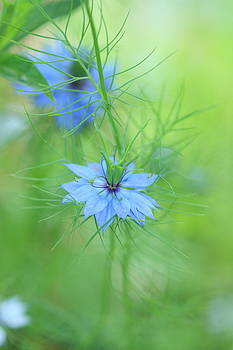 Love In A Mist by Rebeka Dove