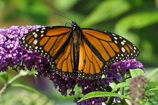 Monarch butterfly by Cheryl Cencich