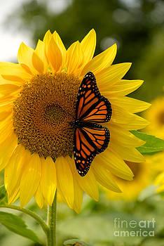 Mark Dodd - Monarch on a Sunflower