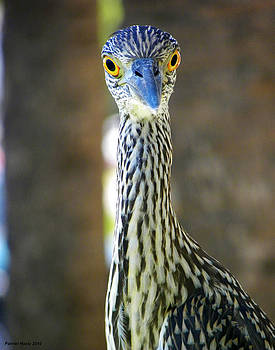 Night Heron Portrait by Palmer Hasty