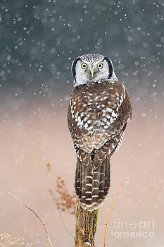 Scott Linstead - Northern Hawk Owl