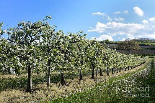 BERNARD JAUBERT - Orchard blooming apple trees.