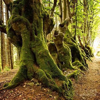 BERNARD JAUBERT - Path lined whit old beeches. Allier. Auvergne. France