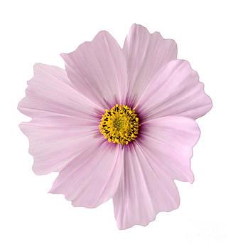 Pink Coreopsis Daisy by Tony Cordoza