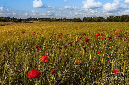 Svetlana Sewell - Poppy Field