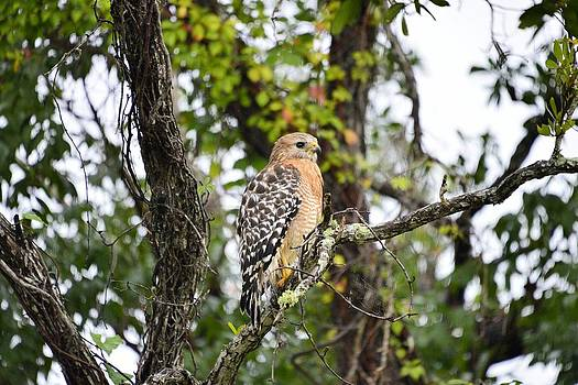 Red Shouldered Hawk by Bill Hosford