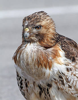 Red-Tail Hawk by Jim Nelson