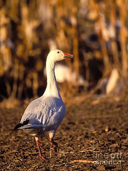 Steven Ralser - Snow Goose