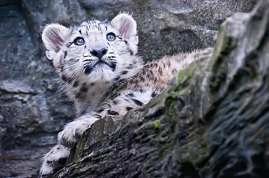 Snow Leopard Cub by Chris Boulton