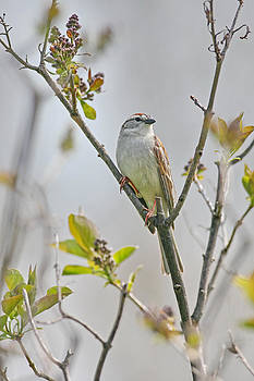 Song Sparrow by Jim Nelson