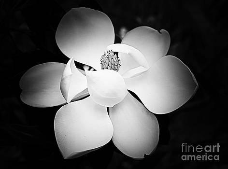 Southern Magnolia by Nicola Fiscarelli