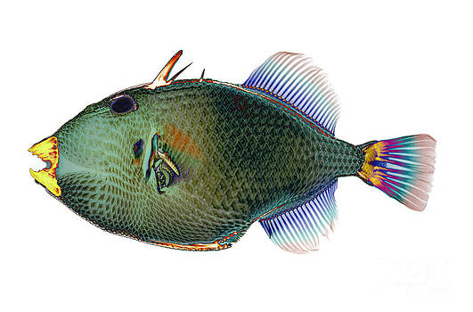 D Roberts - Triggerfish X-ray