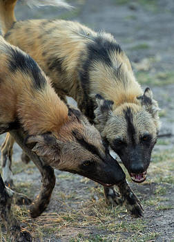 Two African Wild Dog, Lycaon Pictus by Beverly Joubert