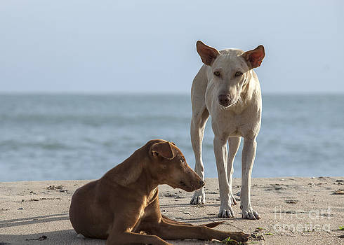 Patricia Hofmeester - Two homeless dogs on the beach