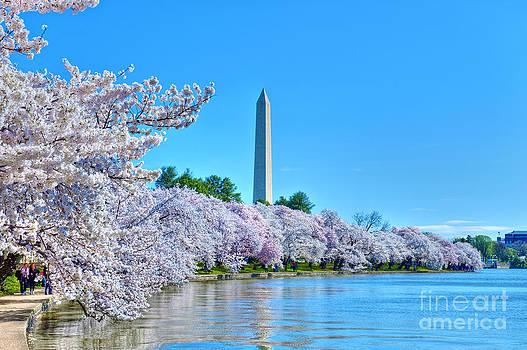 David  Zanzinger - Washington Monument Spring Cherry Blossom trees District of Columbia Tidal Basin