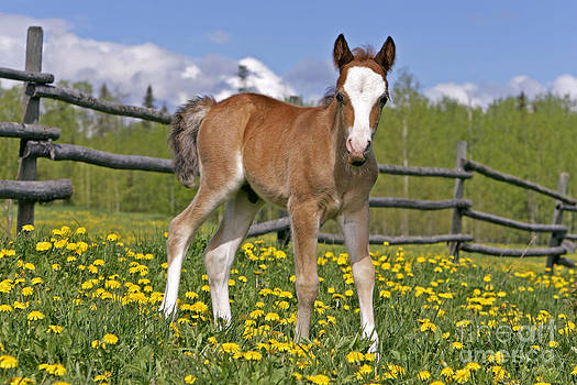 Rolf Kopfle - Welsh Mountain Pony Colt