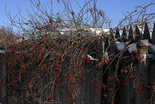 Winter Berries by Donna Desrosiers