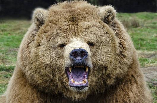 Mark Newman - Brown Bear