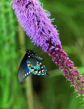 Marty Koch - 243 Butterfly