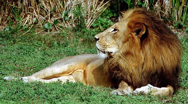 Millard H Sharp - African Lion