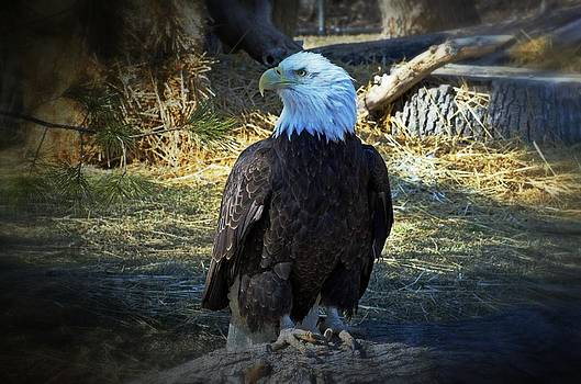 Bald Eagle by Cheryl Cencich