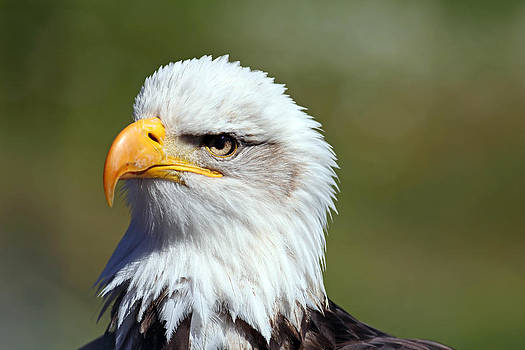 Bald Eagle by Jim Nelson
