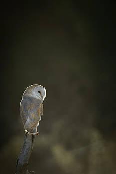 Barn Owl by Andy Astbury