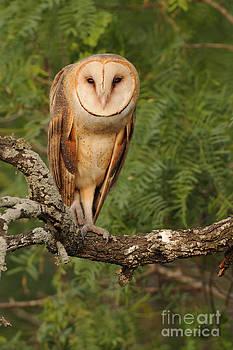Scott Linstead - Barn Owl