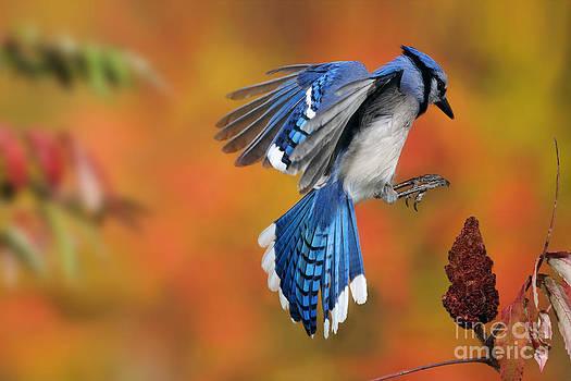 Scott Linstead - Blue Jay