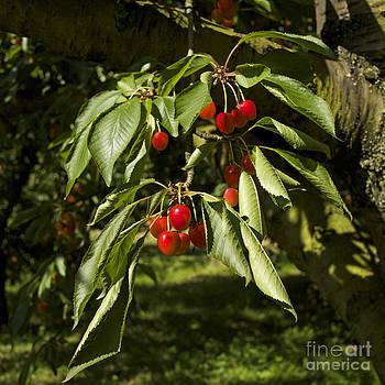 BERNARD JAUBERT - Cherry tree