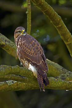 Common Buzzard by Paul Scoullar