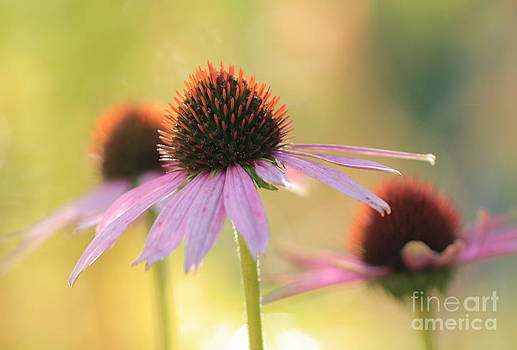 Echinacea by Rebeka Dove