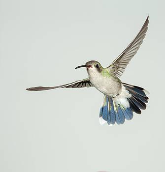 Gregory Scott - Female Broadbill Hummingbird