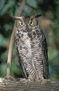 Millard H Sharp - Great Horned Owl