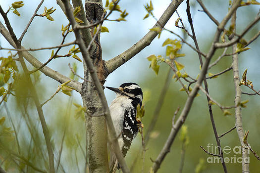 Linda Freshwaters Arndt - Hairy Woodpecker