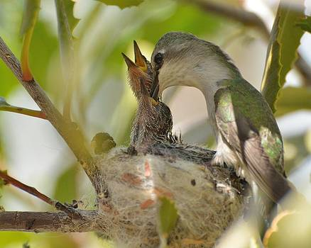Hummingbird babies by Old Pueblo Photography