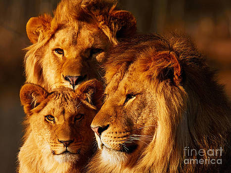 Nick  Biemans - Lion family close together