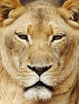 Paulette Thomas - Lioness