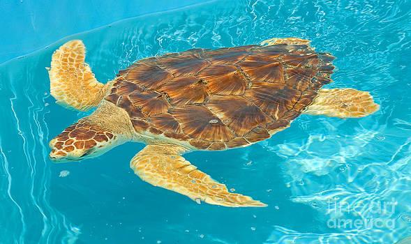 Millard H. Sharp - Loggerhead Sea Turtle
