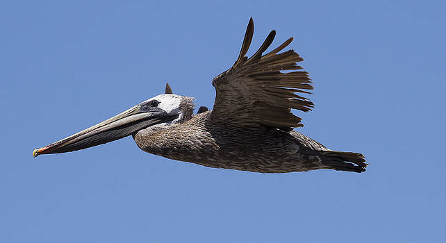 Pelican by Jose M Beltran