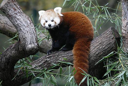 Red Panda by Nina Peterka