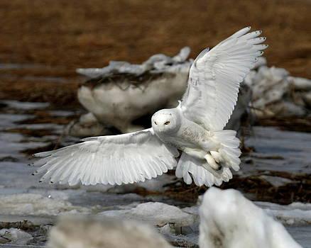 Snowy Owl by Henry Gray