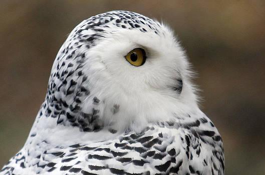 Snowy Owl by Nina Peterka