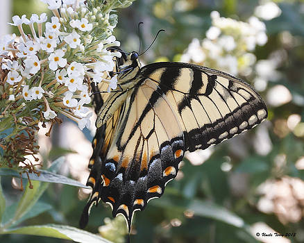 Tiger Swallowtail by Terry Jacumin