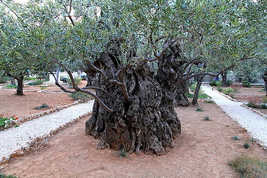 3000 Years Old Olive Tree by Philip Neelamegam