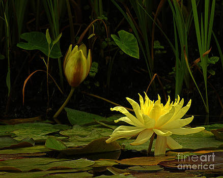 337 Yellow Lilly Flower In Full Bloom by Lawrence Costales