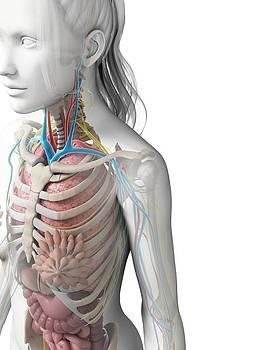 Female Anatomy by Sebastian Kaulitzki