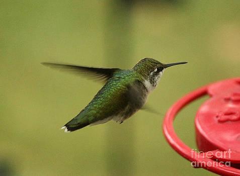 Ruby-throated Hummingbird  by Lori Tordsen