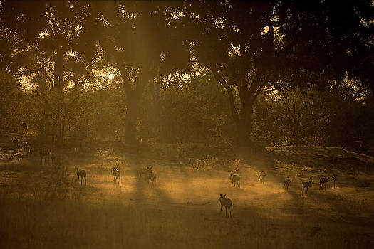 A Pack Of African Wild Dogs, Lycaon by Beverly Joubert