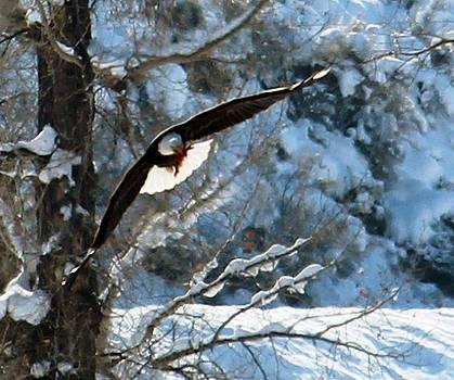 Bald Eagle by Margaret  Slaugh